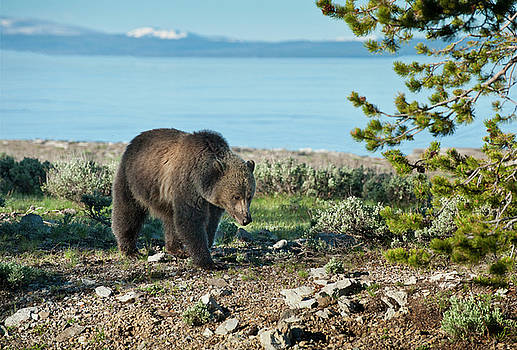 Sandra Bronstein - Grizzly Sow at Yellowstone Lake