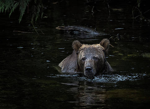 Randy Hall - Grizzly Swimmer