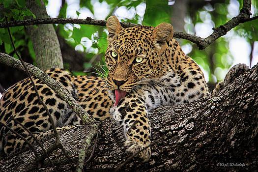 Grooming Leopard by Kay Kochenderfer