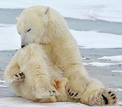 Grooming Polar Bear by Michelle Halsey