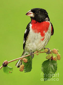 Grosbeak With Mulberry-Stained Beak by Max Allen