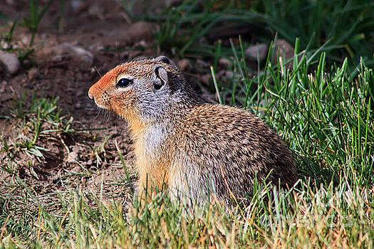 Teresa Zieba - Ground Squirrel