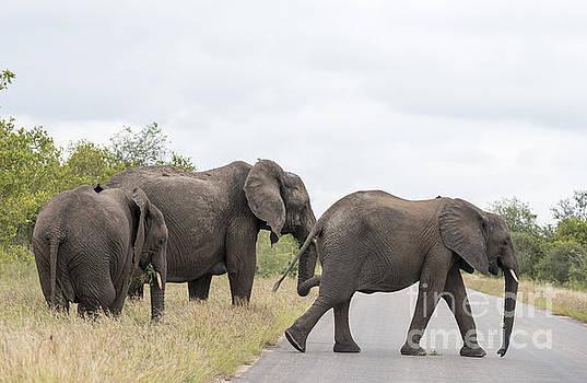 Compuinfoto  - group elephant in kruger park