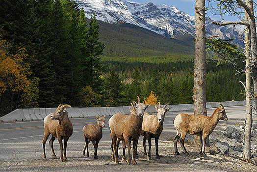Reimar Gaertner - Group of curious Bighorn mountain sheep in Banff National Park