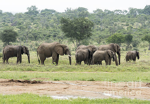 Compuinfoto  - group of elephants in south african wild nature