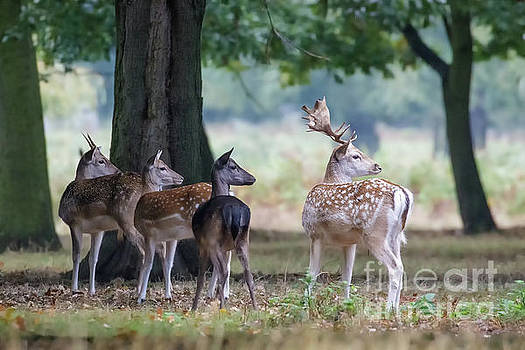 Group of four Fallow deer - Dama dama - startled by something on t by Paul Farnfield