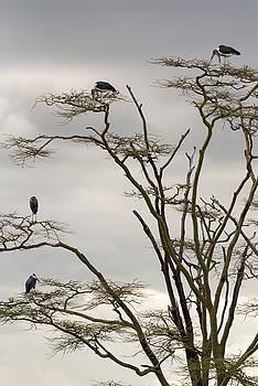 RicardMN Photography - Group of marabou storks on a tree