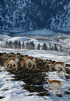 Reimar Gaertner - Group of Pronghorn Antelope grazing in winter at Old Yellowstone