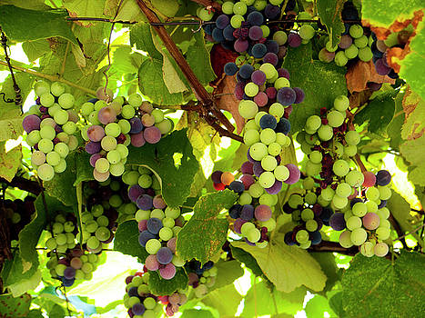 Growing Grapes by Rae Tucker