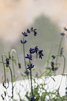 Growing Lavender Vase by Adrian Bud
