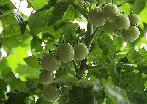 Growing the tomatoes. Bunch of unripe cherry tomatoes by Sergei Dolgov