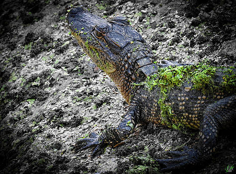 Growing Up Gator, No. 40  by Elie Wolf