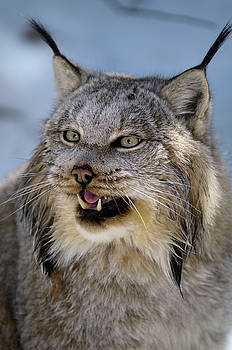 Reimar Gaertner - Growling face of female Canada Lynx in the shade of a winter for