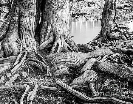 Guadalupe Bald Cypress in Black and White by Michael Tidwell