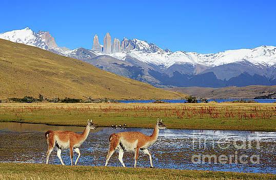 Guanacos at Laguna Azul Patagonia Chile by Louise Heusinkveld