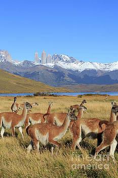 Guanacos Lama guanicoe in Patagonia by Louise Heusinkveld