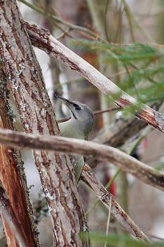 Guess who.  Grey-headed woodpecker by Jouko Lehto