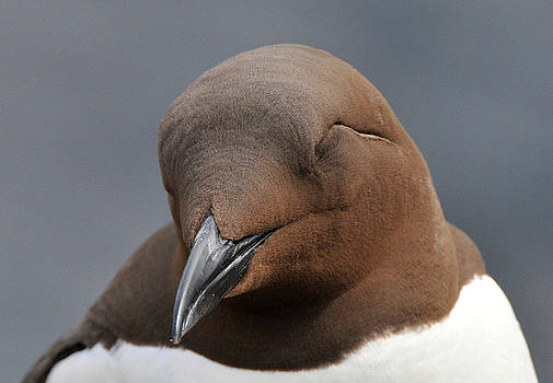 Guillemot by Dave Smith