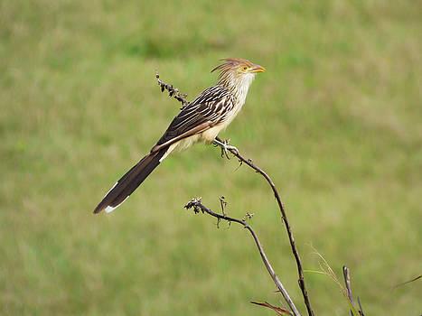 Guira cuckoo by Helissa Grundemann
