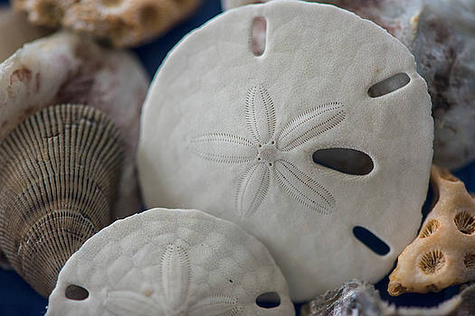 Sand Dollars from the Gulf Coast by Gej Jones