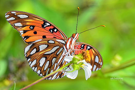 Gulf Fritillary Butterfly by Julie Everhart