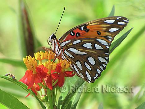Gulf Fritillary Butterfly by Richard Nickson