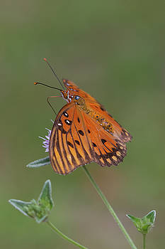 Gulf Fritillary on Elephantsfoot #2 by Paul Rebmann