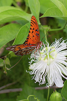 Paul Rebmann - Gulf Fritillary on White Passionflower