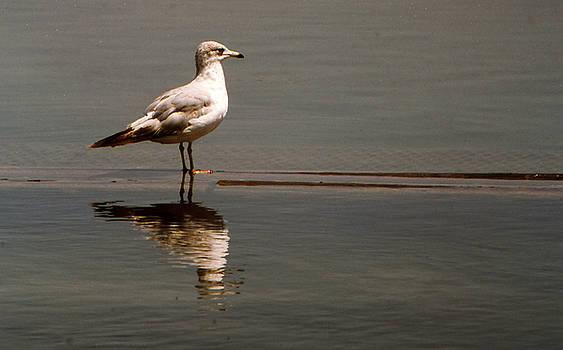 Gull by Bob Whitt