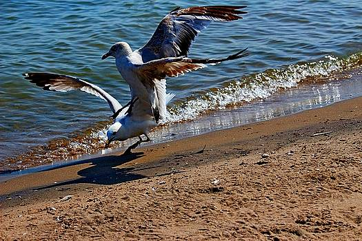 Gull Fight by Amanda Struz