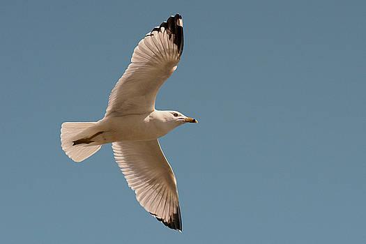 Gull flight by Asbed Iskedjian