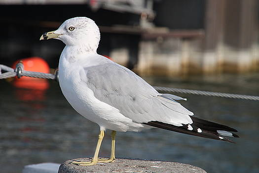 Gull by Gerald Salamone
