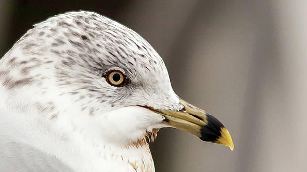 Gull Headshot by Andrew Hollen