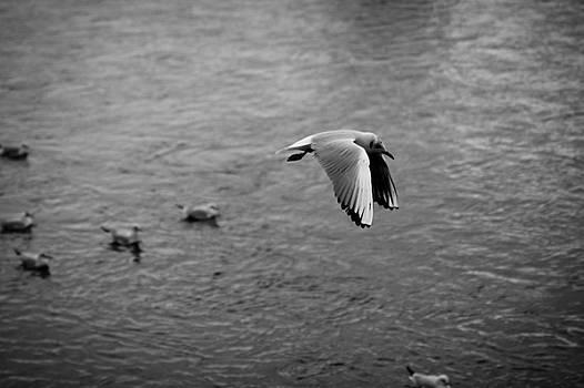 Gull in flight by Alex Leonard