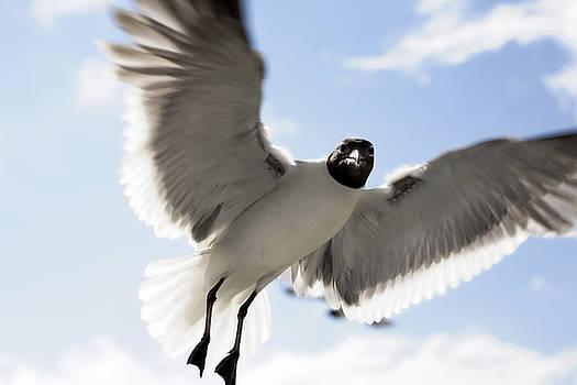 Marilyn Hunt - Gull in Flight