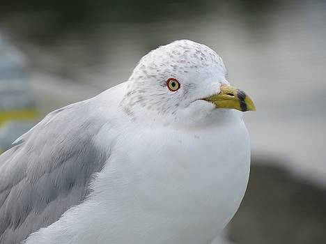 Gull by Phil Bearce