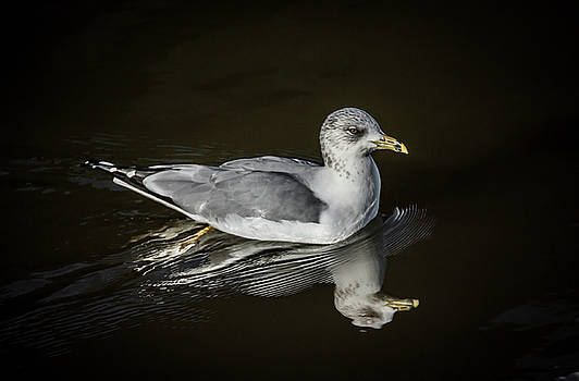 Gull Reflecting by Ray Congrove