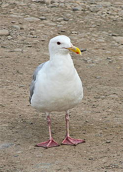 Rick  Monyahan - Gull