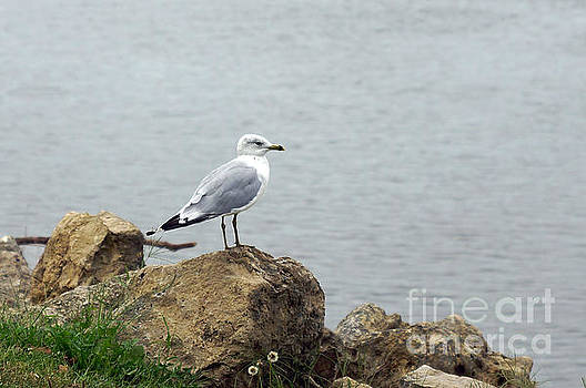 Gull by Robin Clifton