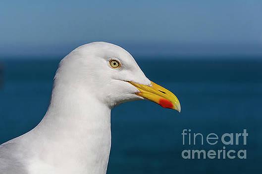 Gull by Steev Stamford