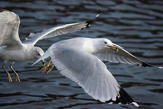 Gulls by Jake Danishevsky