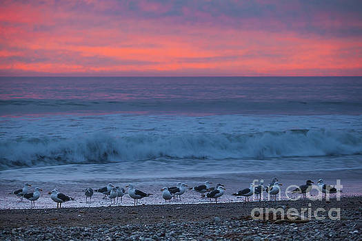 Gulls with Pink Sky by Sharon Foelz