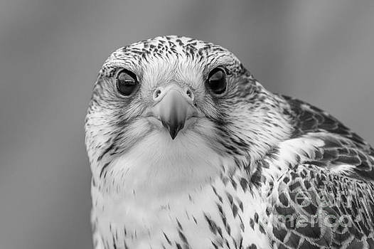 Gyr Falcon portrait in black and white by Paul Farnfield