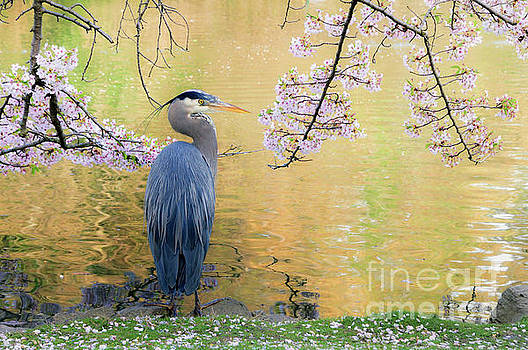 Haiku, Heron and Cherry Blossoms by Michael Wheatley