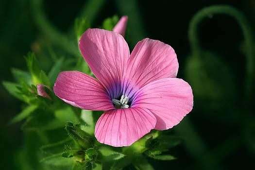 Yuri Peress - Hairy Pink Flax