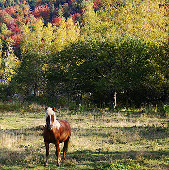 Sandra Huston - Halflinger Stallion in Fall