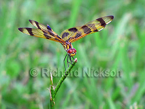 Halloween Pennant Dragonfly by Richard Nickson