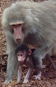 Hamadryas Baboon Mother And Baby by Margaret Saheed