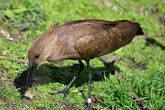 Hamerkop scopus umbretta bird in sunlight in Spring on riverbank by Matthew Gibson