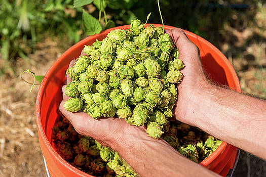 Handful of Hops During Late Summer Harvest at HOPS ENVY in Gardnerville, Nevada by Brian Ball